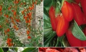 Дереза звичайна ягода годжі, застосування, користь, як приймати