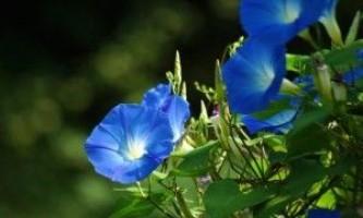 Іпомея - догляд, посадка, вирощування іпомеї, квітка, фото