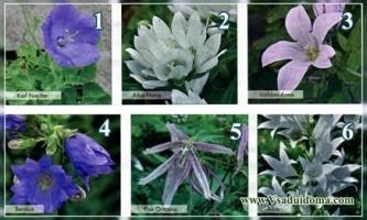 Дзвіночки квіти (фото сортів) - опис догляд і вирощування
