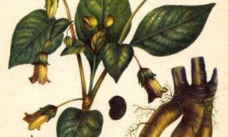 Беладона - беладона - сонна одуру - atropa beladonna - лікарські рослини - опис і застосування - фото - дикий дачник