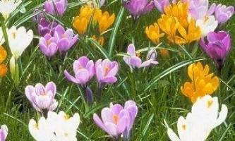 Багаторічні квіти для дачі їх назви - квітучі все літо, фото, відео