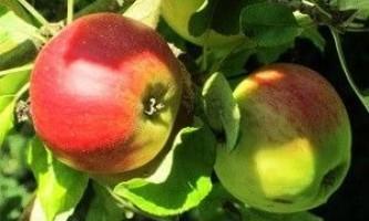 Очищення організму яблуками (яблучне очищення)