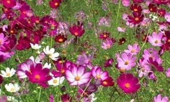 Космея - красивий і корисний квітка для садів і городів