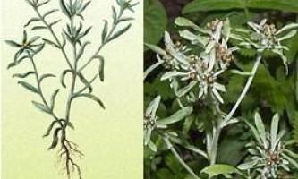 Сухоцвіт болотна (болотна), фото, застосування, лікування