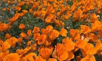 Вирощування ешшольціі - квітка для ледачих